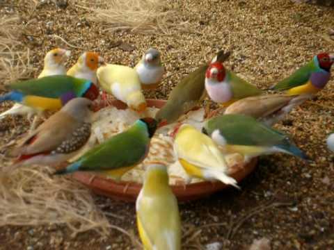Feeding australian finches in finch aviary