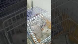 Видео о домашних животных(Сирийские хомячки)
