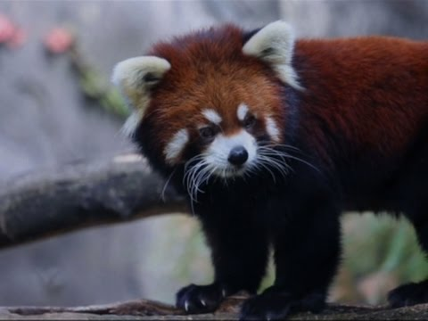 Chicago Zoo's Red Panda Cubs Come Out of Hiding