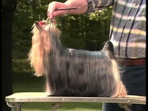 Yorkshire Terrier - AKC Dog Breed Series