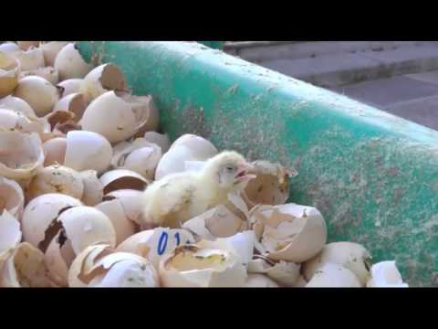 How Chicks are Treated In Factories / Animal Equality