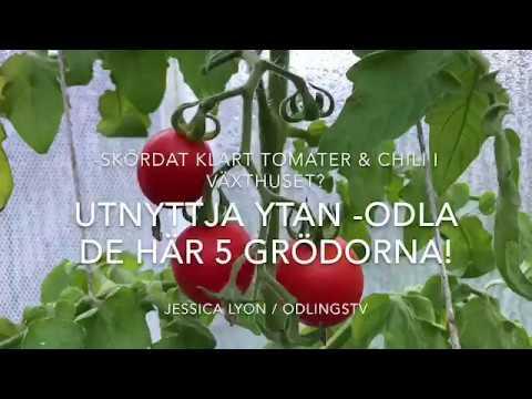 Höstodla I Växthuset Eller Odlingstunneln De Här 5 Kommer Efter Tomat Och Chili