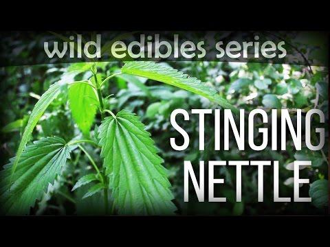 Stinging Nettle  Wild Edibles Series