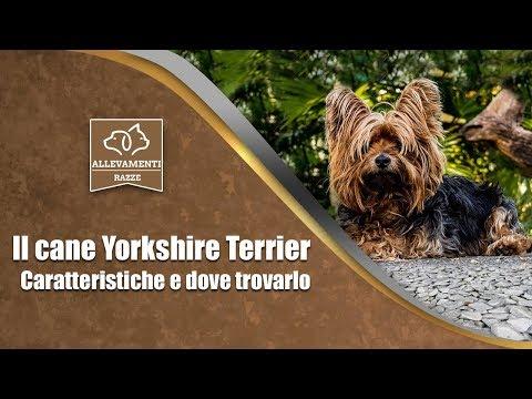 Il cane Yorkshire Terrier - Caratteristiche e dove trovarlo - Documentario di Allevamenti Razze
