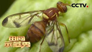 《田间示范秀》番茄休耕 胡蜂治虫 20200608 | CCTV农业