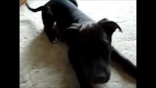 Labrabull - Pit Bull Mixed Labrador Retriever
