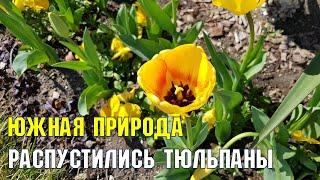 Южная природа 10 марта | Распустились тюльпаны