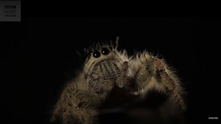 Largest Jumping Spider In The World - BBC Earth