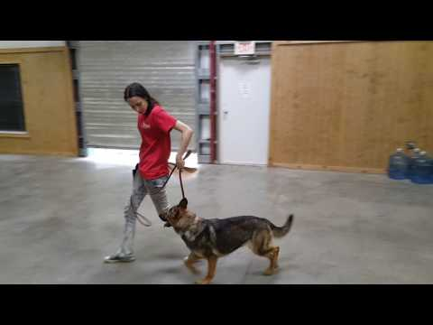 "Sable German Shepherd Female ""Kaylin""  Tricks Obedience Protection Trained Dog For Sale"