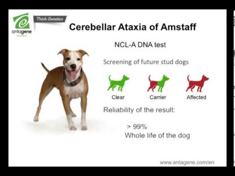 Cerebellar Ataxia of American Staffordshire Terrier ... American Staffordshire Terrier 2014