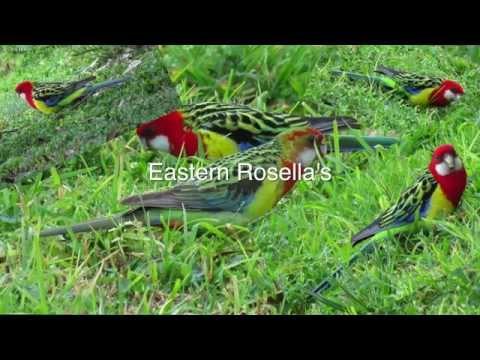 Eastern Rosella's