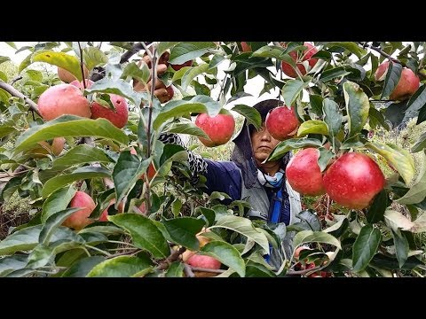 Apple Harvesting In South Korea