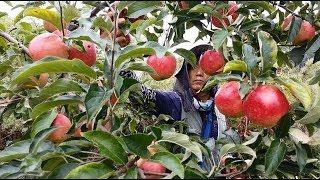 Gambar cover Apple harvesting in South Korea
