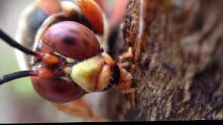 Video Cicada Killers, gentle giants download MP3, 3GP, MP4, WEBM, AVI, FLV Agustus 2017