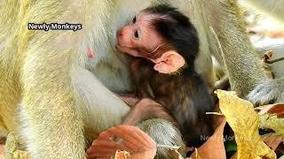 Download lagu Awful News: RIP Baby Tonya 29.12.2020, Hard monkey Aron takes baby Tonya from mom and bite seriously