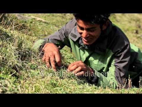 Cordyceps sinensis: Black gold from a Himalayan caterpillar-fungus!