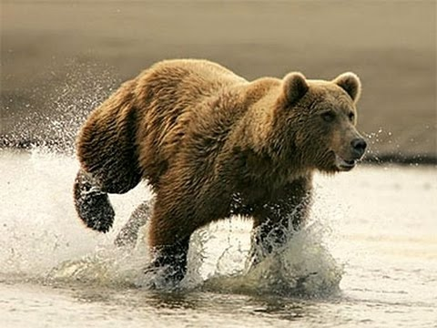 The Brown Bear | Nature Documentary (Earth Documentaries) Forest, Wild, Grizzly Bears