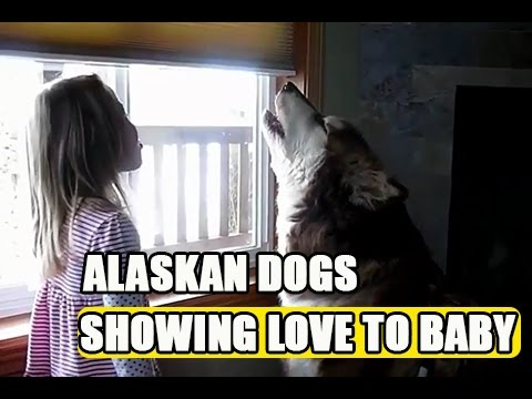Funny Dog Videos For Kids - Alaskan Malamute Dogs showing love to Baby compilation