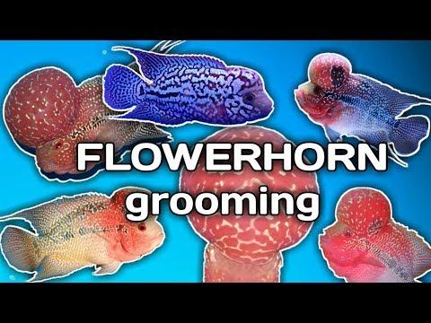 5 Tips On FLOWERHORN GROOMING (tagalog W/ English Sub) Hendrix Backyard