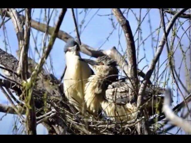 Virtual Vitamin Z | Zoo Educational Lesson: Black-Crowned Night Herons
