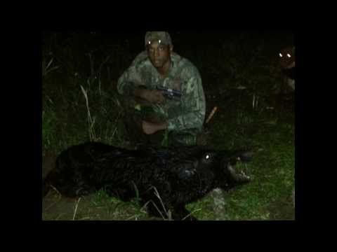 Hog hunt and cooking Wild Hog