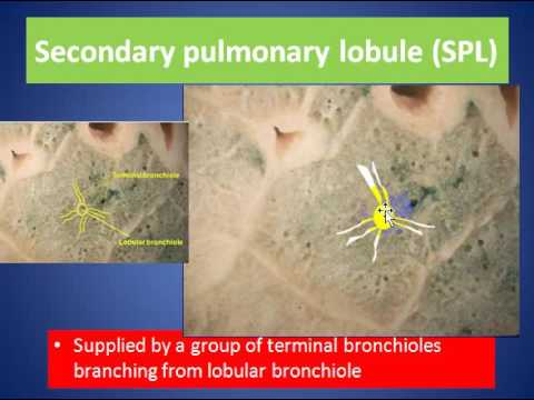 Secondary Pulmonary Lobule