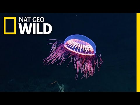 Spellbinding Jellyfish Spotted In Rare Deep Sea Footage | Nat Geo Wild