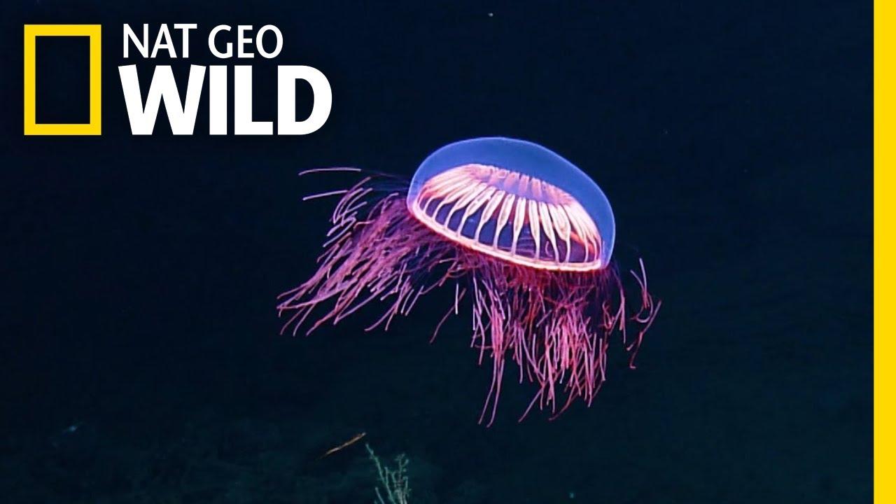 spellbinding jellyfish spotted in rare deep sea footage nat geo