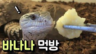 도마뱀 바나나 먹방  파충류 밥 먹는 소리 쩝쩝 바삭 …
