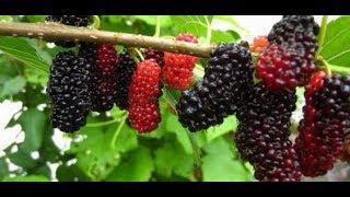 how to plant berries  زراعة التوت في المنزل بكل سهولة والعناية بها من تسميد ورى حتي الاثمار