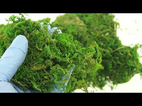Dried Organic Reindeer Moss Green Vase Filler Planter Topping Wedding Large Bag