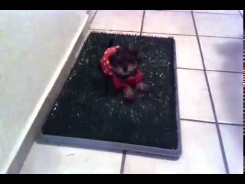 Minni Princess Yorkshire puppy estrenando tapete entrenador. Hermosa cachorra