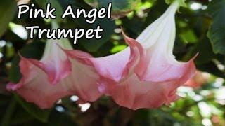 Pink Angel Trumpet Plant