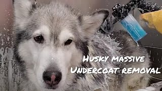Beautiful Husky loses all her hair | Undercoat removal