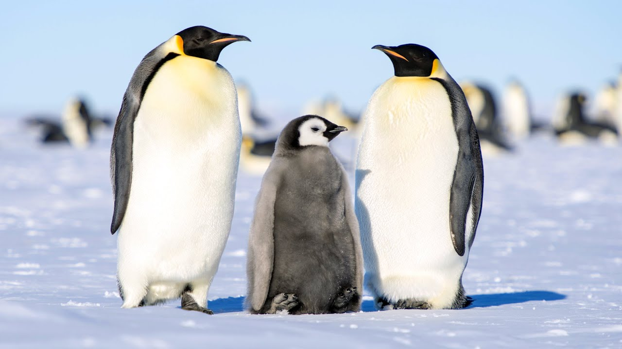 antarctic animals the penguins essay