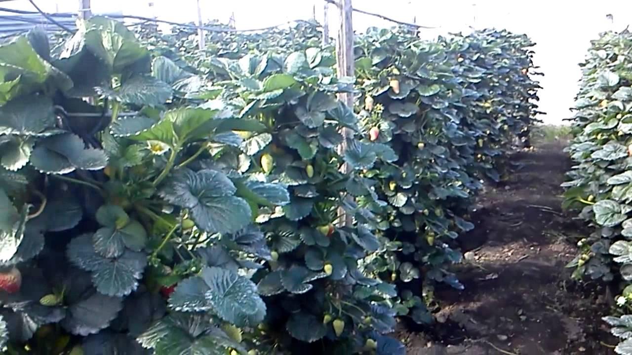 hidroponia vertical fresas 4 youtube