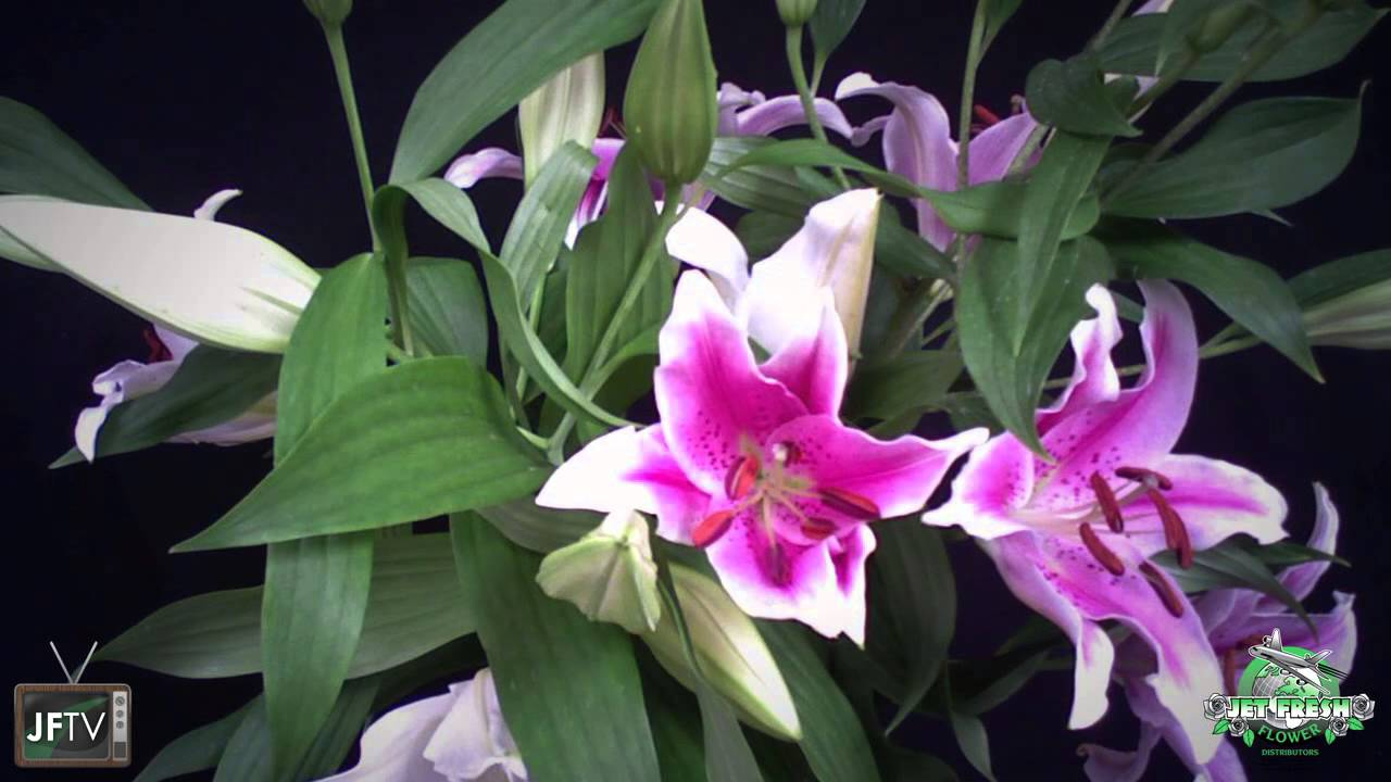 Huge Mexican Oriental Lily Time Lapse Jftv Youtube