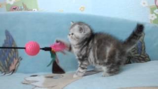 Котята экзоты купить Москва