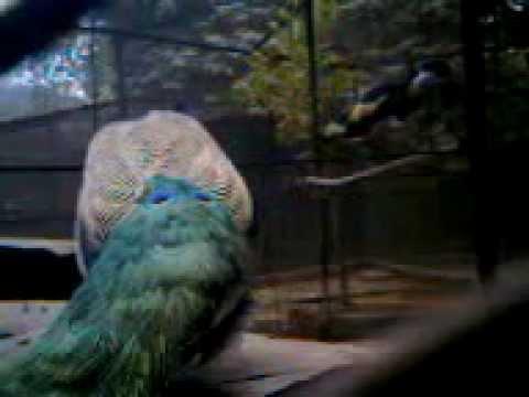 The Indian peacock at Alipore Zoo,Kolkata,India