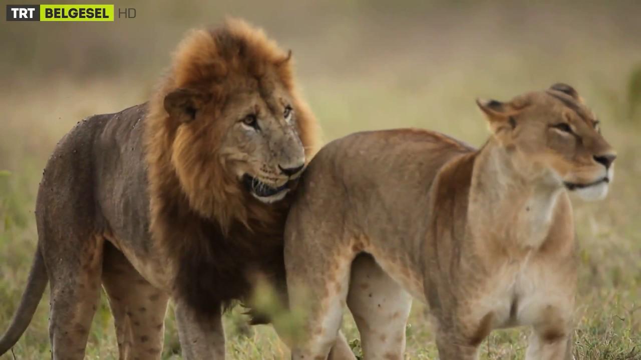 Dişi Aslanlar, Hangi Erkek Aslanları Daha Çok Tercih Ediyor?