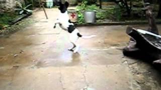 Rat terrier training