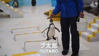 おたる水族館 言う事を聞かないペンギンショー・個体識別