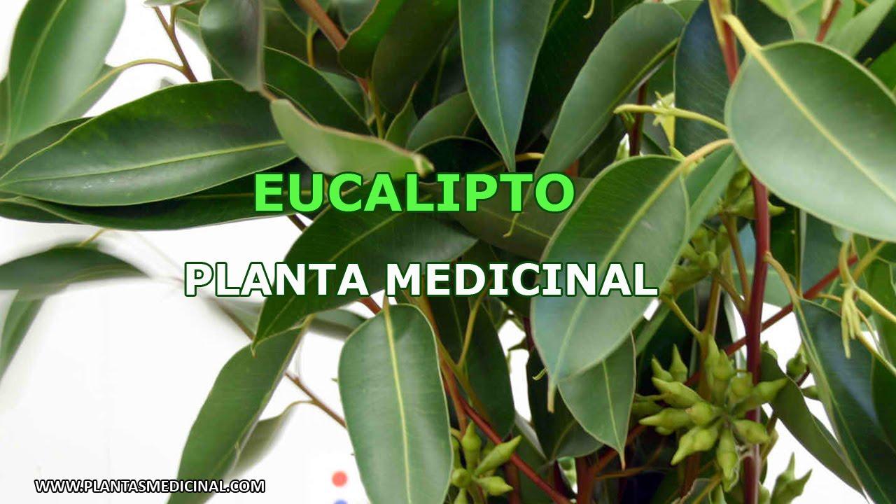 El eucalipto planta medicinal youtube for Planta decorativa con propiedades medicinales