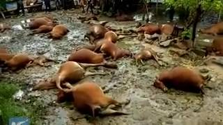 Over 30 oxen killed in S China farm due to Typhoon Sarika