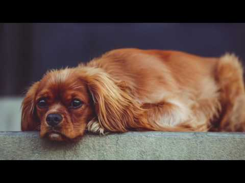 Cavalier King Charles Information