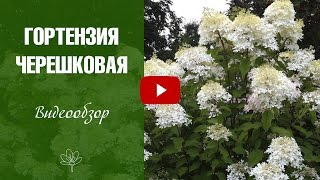видео Гортензия в ландшафте сада, описание, фото, условия выращивания, уход