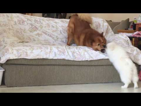 American Eskimo puppy challenged an older Finnish Spitz (4)