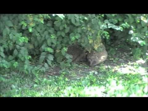 pindsvin parring