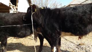 Спаривание животных