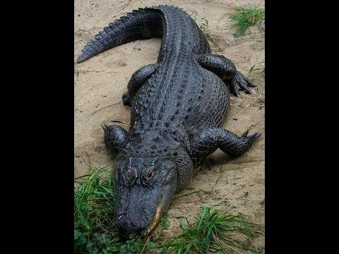 ASMR Wiki Wednesday Whispers - American alligator